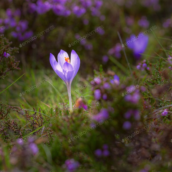 Purple Crocus vernus