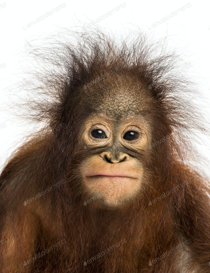 Close-up of a young Bornean orangutan facing, looking at the camera, Pongo pygmaeus