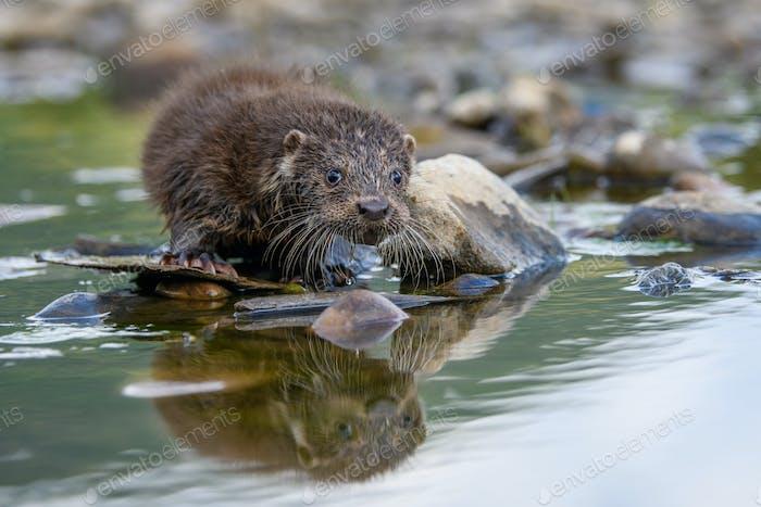 Lutra in der Natur Lebensraum. Porträt von Wasser Raubtier