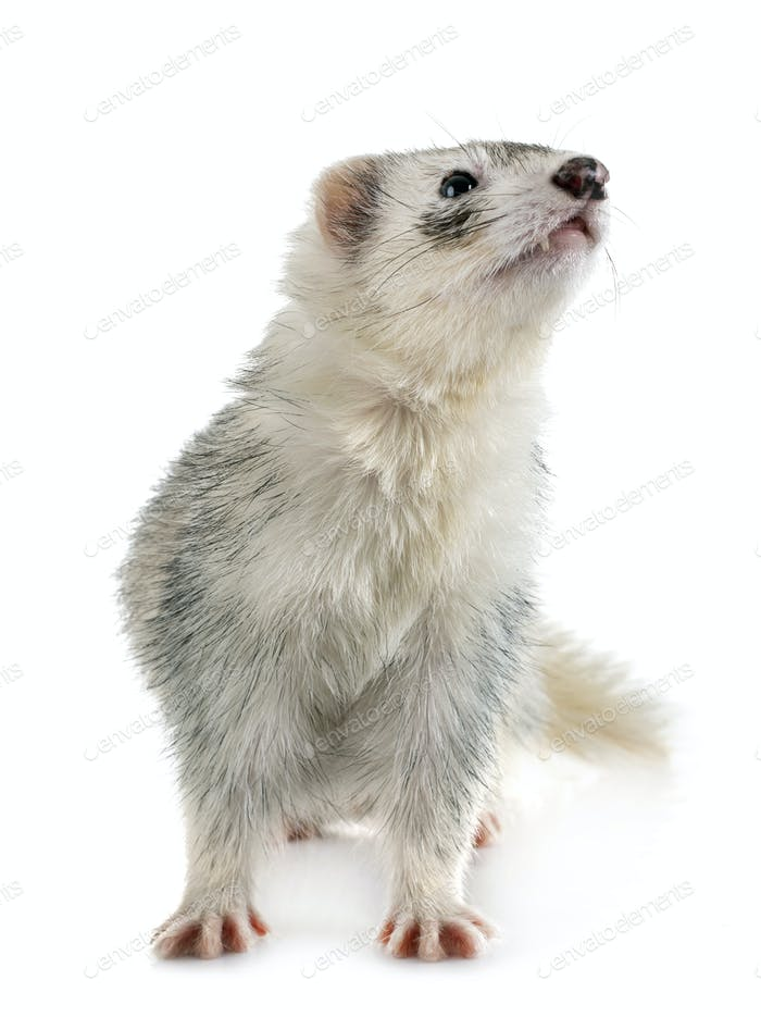gray ferret in studio