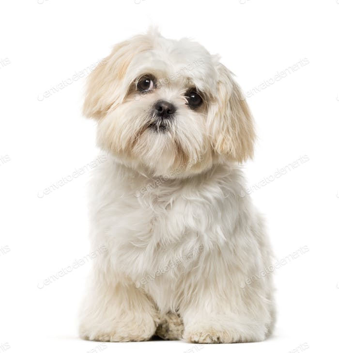 Shih Tzu puppy (6 months old) in front of a white background