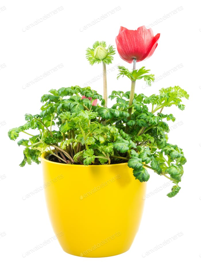 Isolated potted red Anemone flower