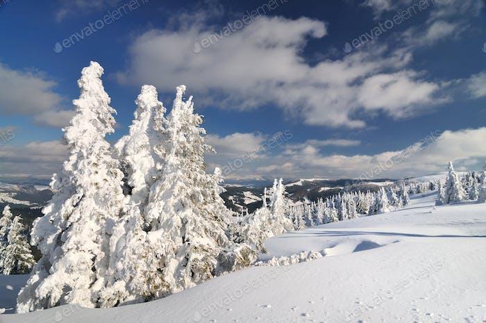 Schneebedeckte Tannen, Winterlandschaft