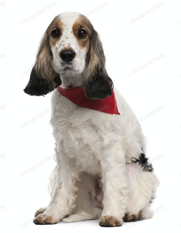 English Cocker Spaniel wearing handkerchief, 2 years old, sitting in front of white background