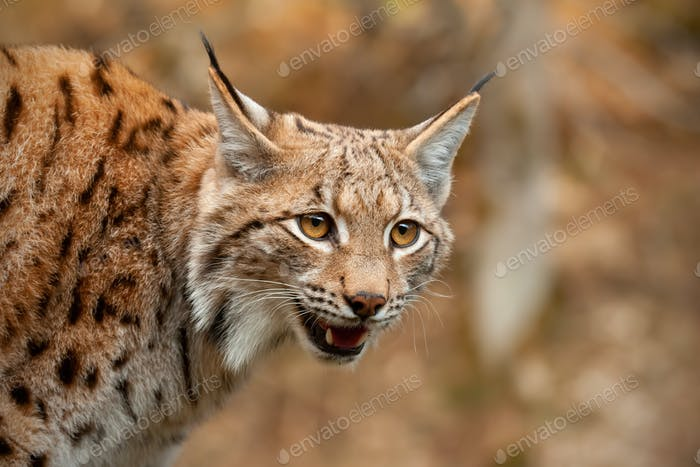Detail of Eurasian lynx looking down searching for prey