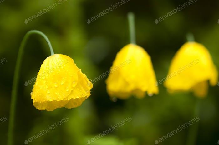 Yellow Poppy Flowers under the Rain