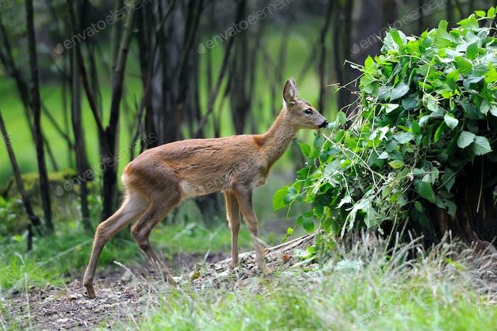 Junges Hirsch im Sommerwald