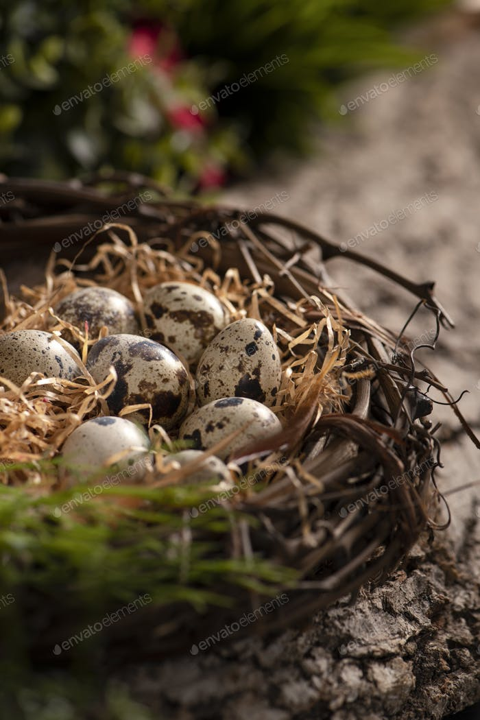 Fresh quail eggs on a nest in the forest