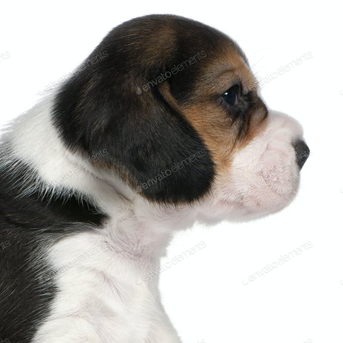 Close-up of Beagle Puppy, 1 month old, in front of white background