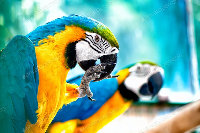 pair of Macaw parrots in the wild with tropical jungle background