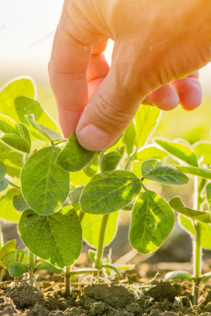 Hand touching soybean plant