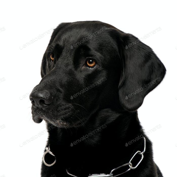 close-up of a black Labrador