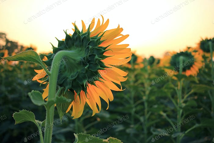 Yellow sunflowers on plant