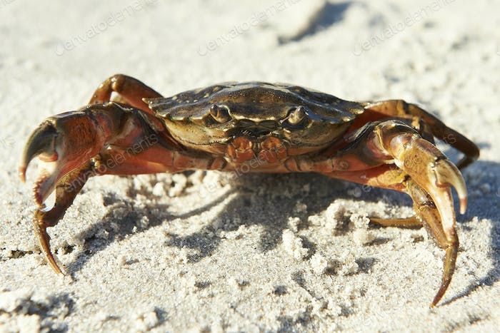 Shore Krabbe (Carcinus maenas)