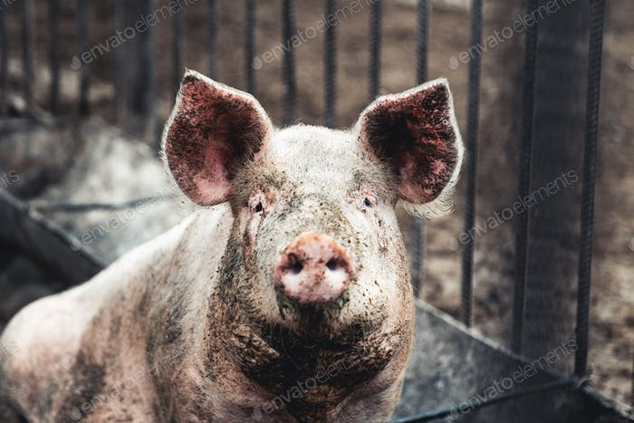 Pig on the farm. Bad conditions, pets