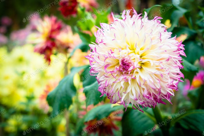 Colorful flower in the garden