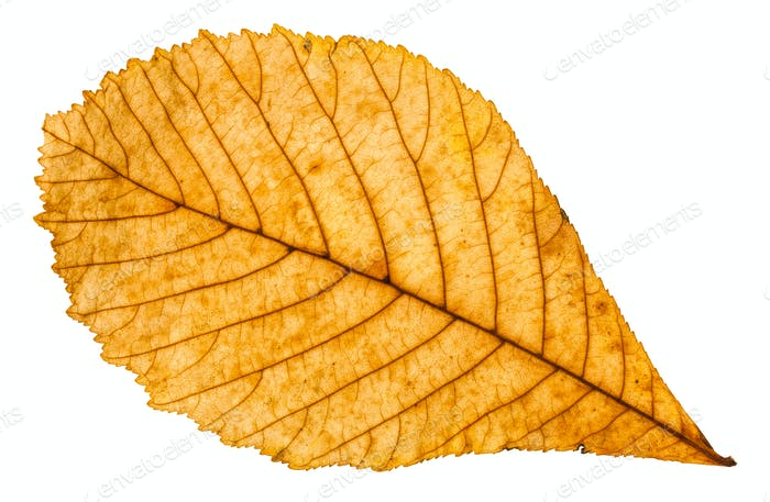 autumn yellow leaf of horse chestnut tree isolated