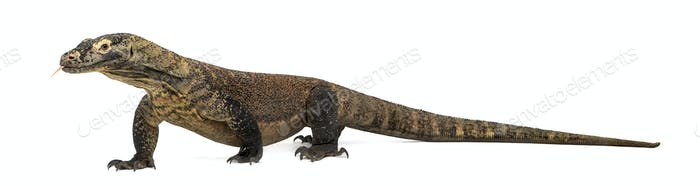 Komodo Dragon sticking the tongue out, isolated on white