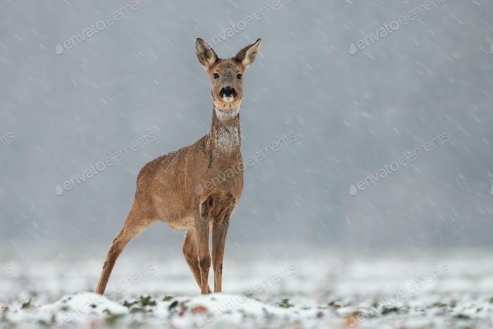 Rehe, Capreolus capreolus, Rehe im Winter während eines Schneefalls