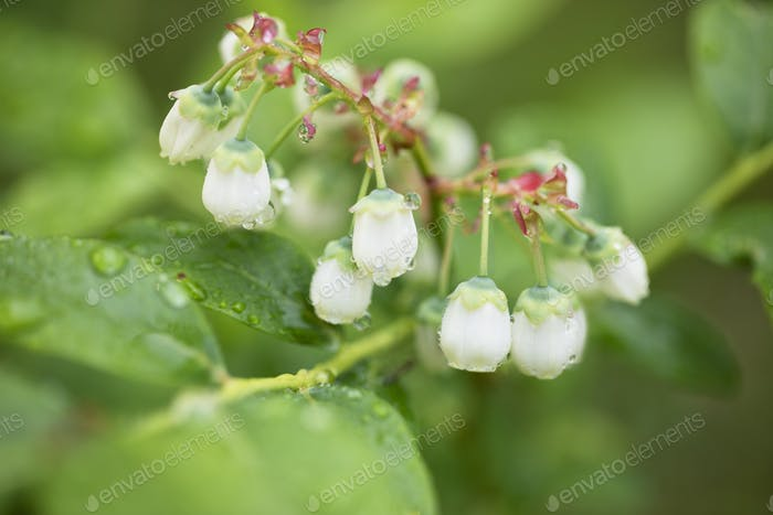Morning Dew on Blueberry Flowers