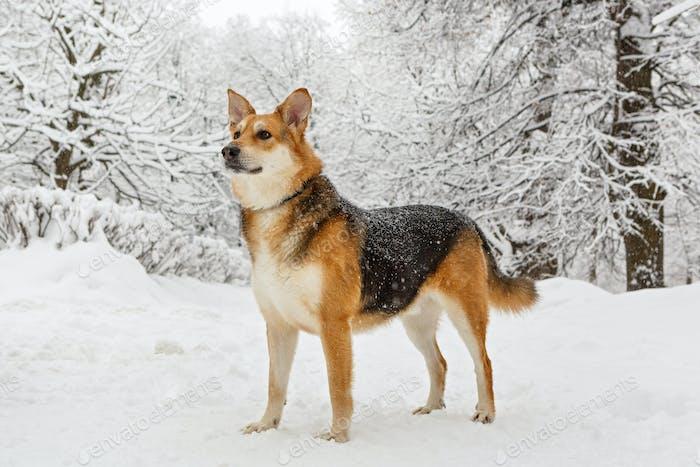 big dog on a winter walk