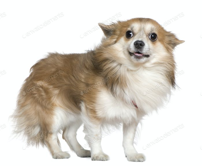 Chihuahua, 4 years old, standing in front of white background