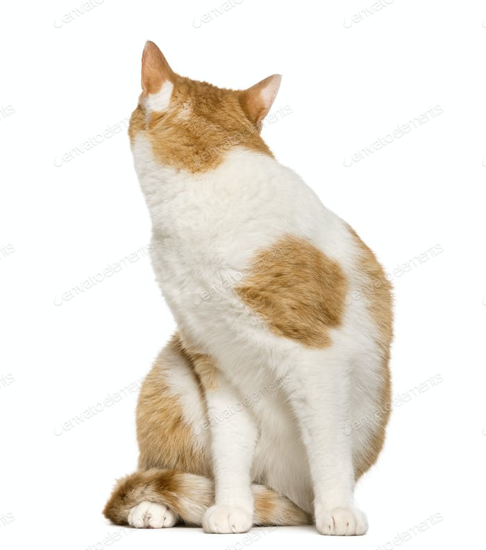 Cat looking back in front of white background