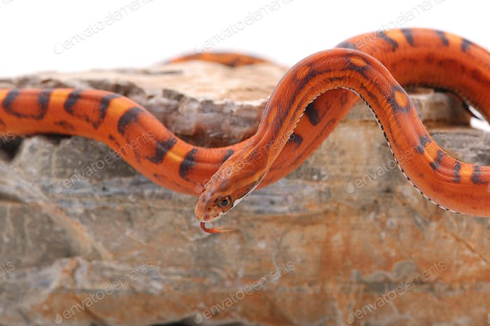 scaleless corn snake isolated on white background