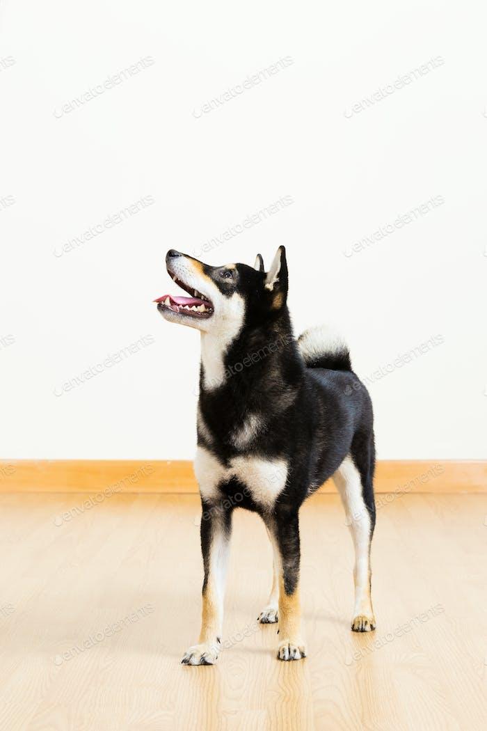 Black shiba dog