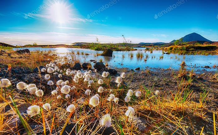 White fluffy cotton flowers at Myvatn lake.