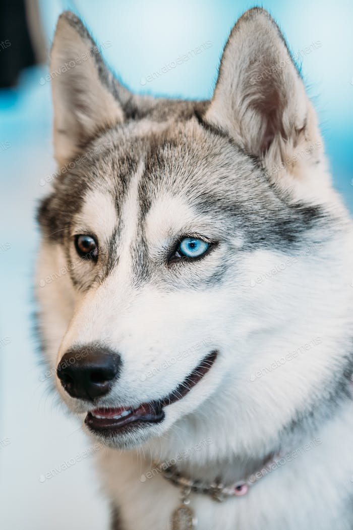 Close Up Head Young Husky Eskimo Dog With Multicolored Eyes
