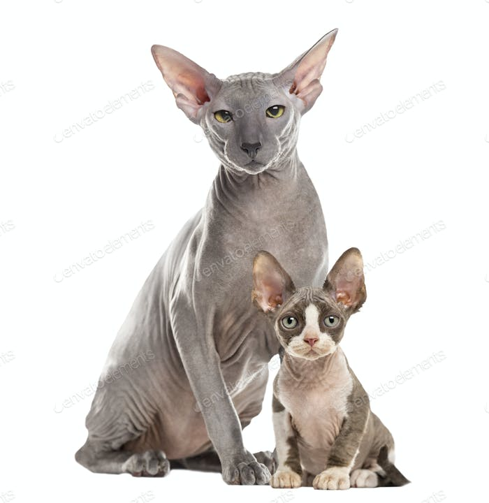Two Peterbald sitting and looking at the camera, isolated on white