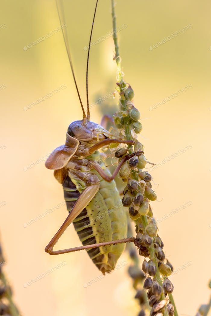 Saddle backed bush cricket