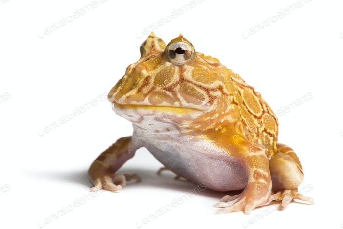 Argentine Horned Frog, Ceratophrys ornata, isolated on white