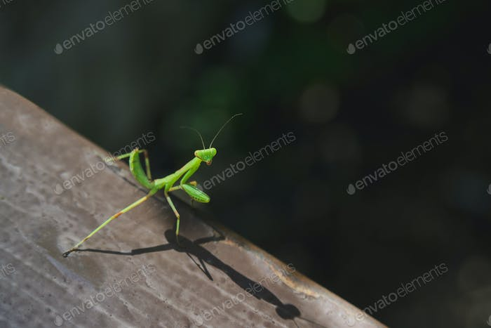 green european mantis on old wooden board