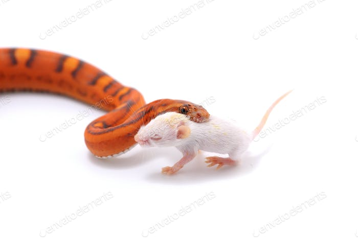 scaleless corn snake isolated on white background photo by