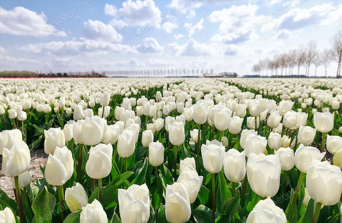 field with white tulips in Holland