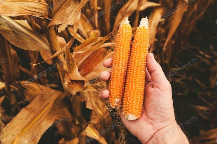 Farmer holding ripe popcorn cobs in hand