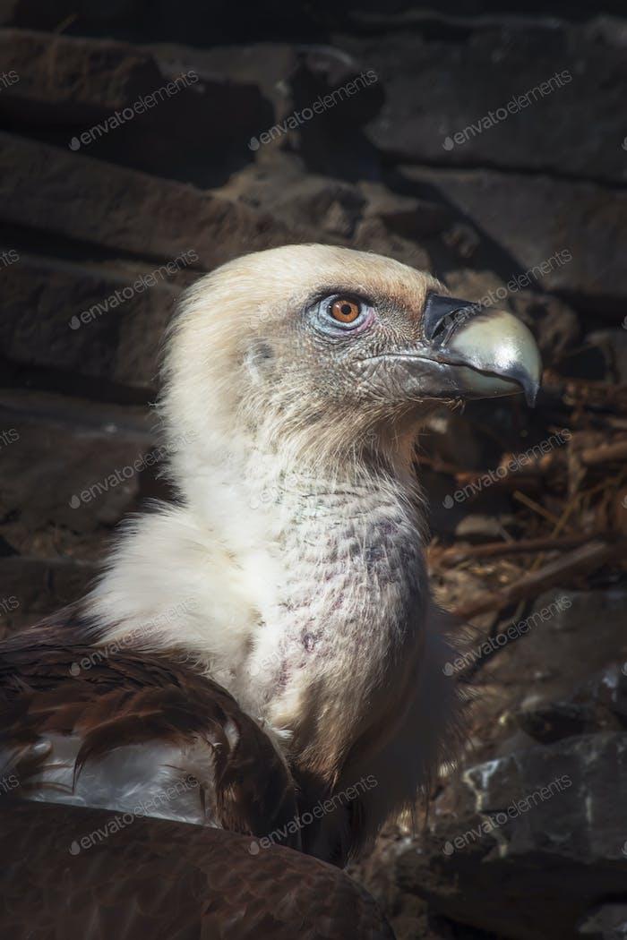 Eagles family vultures portrait