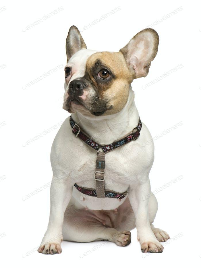 French Bulldog (1 year)