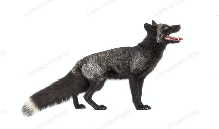 Side view, Silvers Fox, looking up, isolated on white