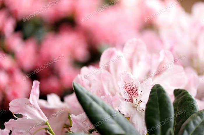 Rhododendron blühende Blumen im Frühlingsgarten. Schöner rosa Rhododendron hautnah