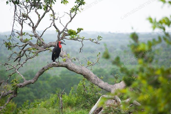 Ground Hornbill, Bucorvus leadbeateri, sits on a branch