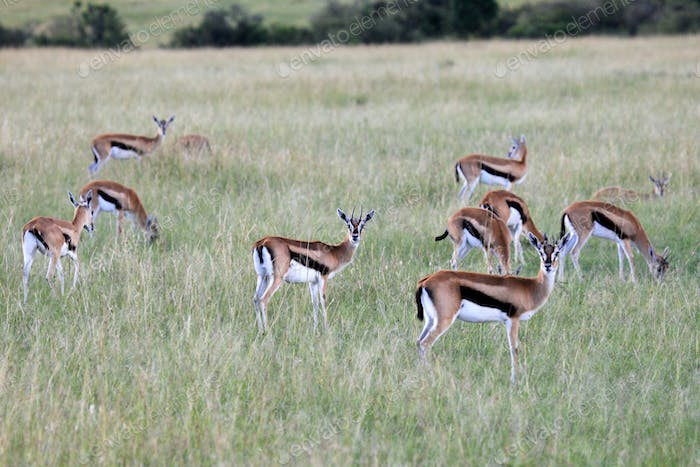 Thompsons Gazelle - Maasai Mara Reserve - Kenya