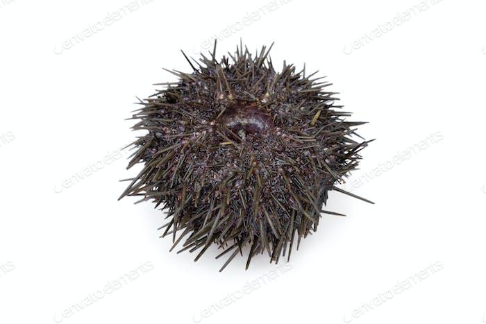Fresh raw sea urchin
