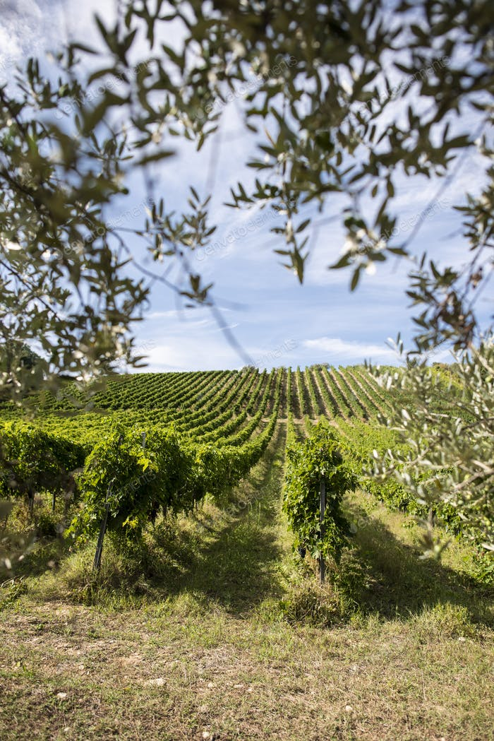 Vineyard rows and olive tree branches on foreground. Growing win
