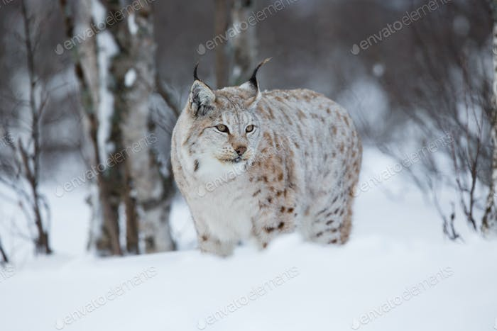 Lynx in winter forest