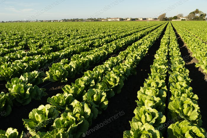 Urban Crop Field Perfect Green Produce Leaf Lettuce