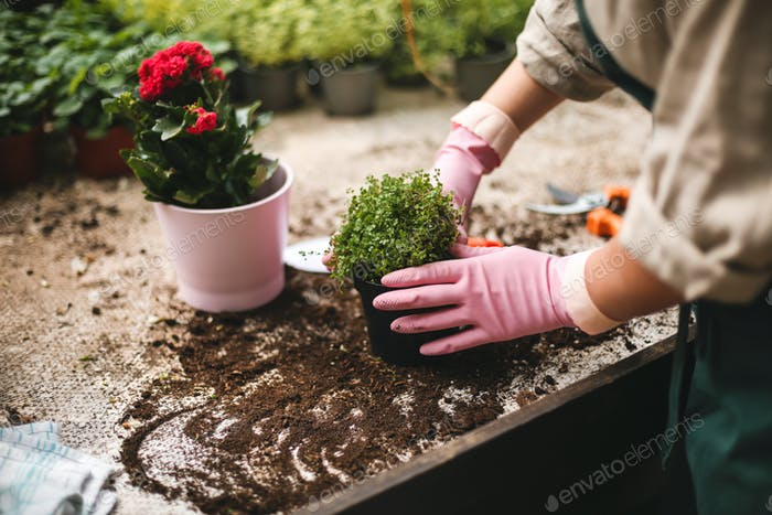 Close up woman hands in pink gloves planting flowers in pots in greenhouse