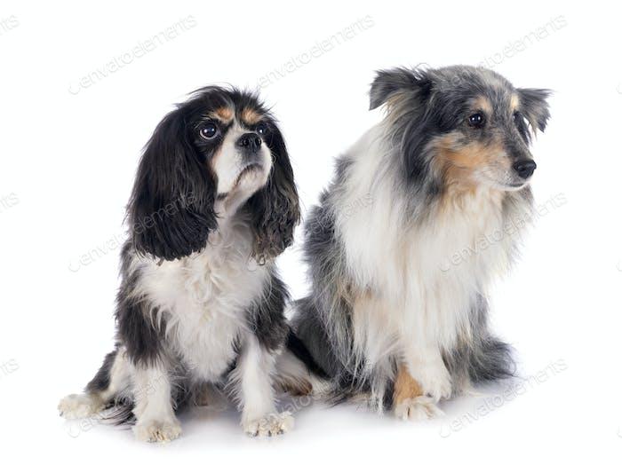 cavalier king charles and shetland sheepdog
